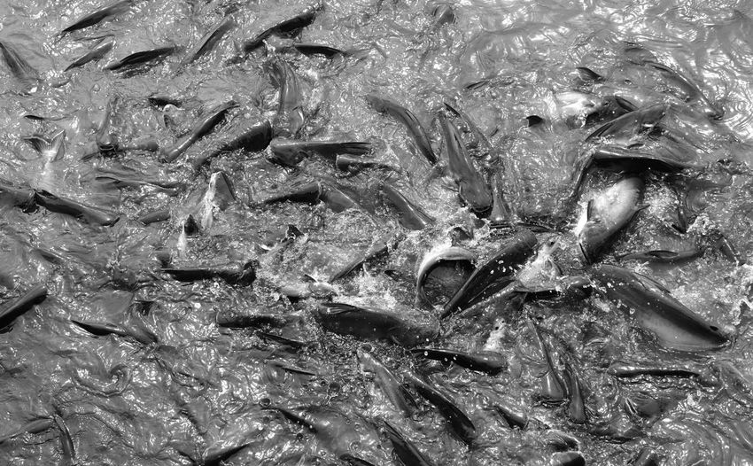 Chao Phaya River Feeding  Fish Feeding Trying To Survive Animal Aquatic Life Blackandwhite Photography Competing Competing For Food Competition Fish Fishes In Motion Freshwater Fish Group Of Animals High Angle View Jumping Fish Large Group Of Animals Nature River Stomp On Others Surviving Water