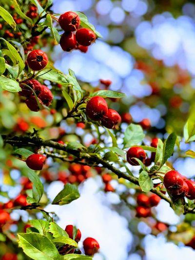 Fruit Berry