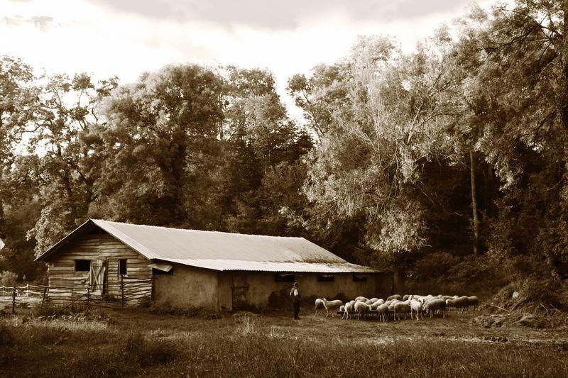 Lambs Autumn