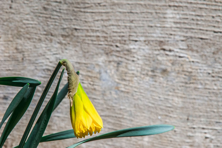 Beauty In Nature Close-up Day Flower Flower Head Focus On Foreground Fragility Freshness Green Color Growth Insect Leaf Nature No People Outdoors Petal Plant Stem Wall - Building Feature Yellow