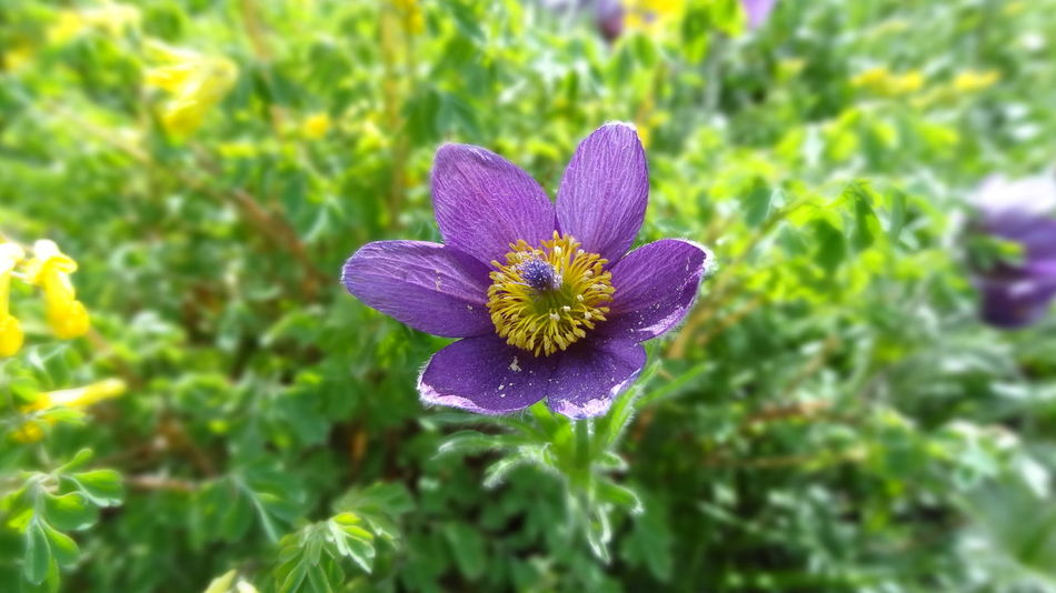 Beauty In Nature Blooming Close-up Day Flower Flower Head Fragility Freshness Green Color Growth Nature No People Outdoors Petal Plant Pulsatilla Vulgaris Purple The Great Outdoors - 2017 EyeEm Awards Violet