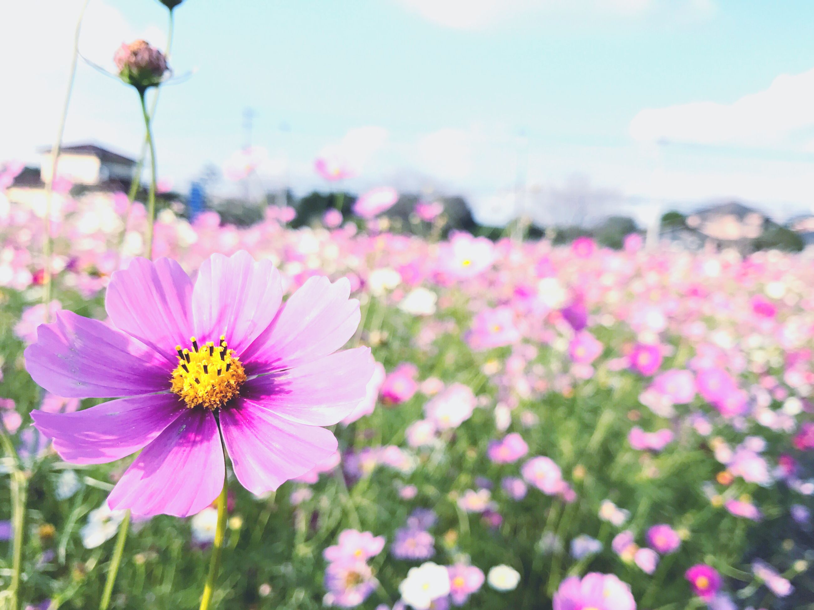 flower, fragility, freshness, beauty in nature, nature, flower head, petal, pink color, growth, blooming, focus on foreground, plant, close-up, field, no people, pollen, day, outdoors, eastern purple coneflower