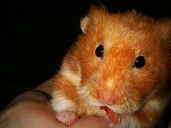 Cute Pets Hamster Animal Lovers EyeEm Animal Lover My Hamster