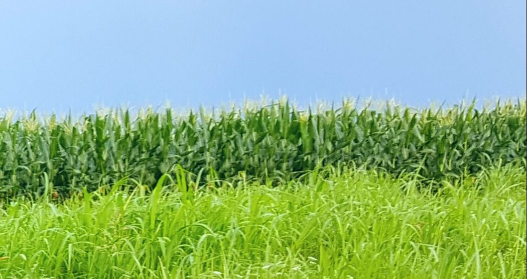 Corn On The Cob Driving Home Outdoor Life Taking Photos Drivebyphotography