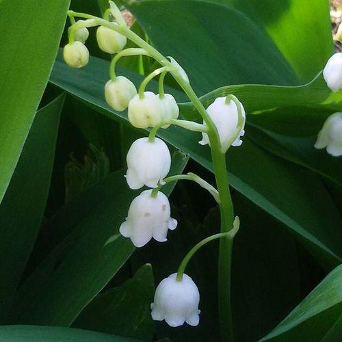 Mughetto Piantadagiardino Campanella Campanelle Campanellebianche Plant Gardenflowers Bianco Verde Green White Profumo Fleur de Jardin Fleurdejardin