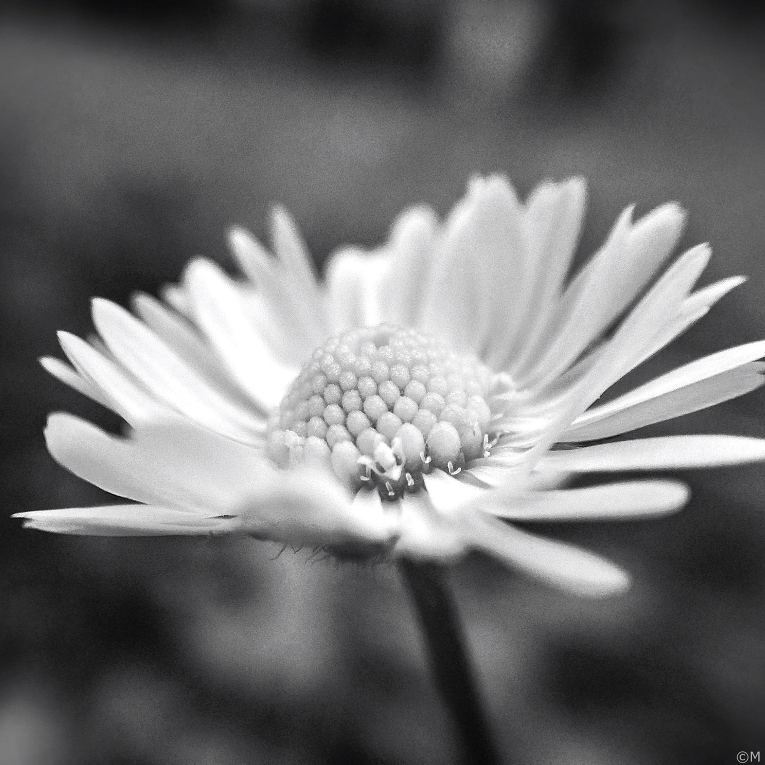 flower, freshness, petal, flower head, fragility, growth, close-up, beauty in nature, single flower, pollen, nature, blooming, focus on foreground, in bloom, plant, selective focus, daisy, stamen, white color, blossom