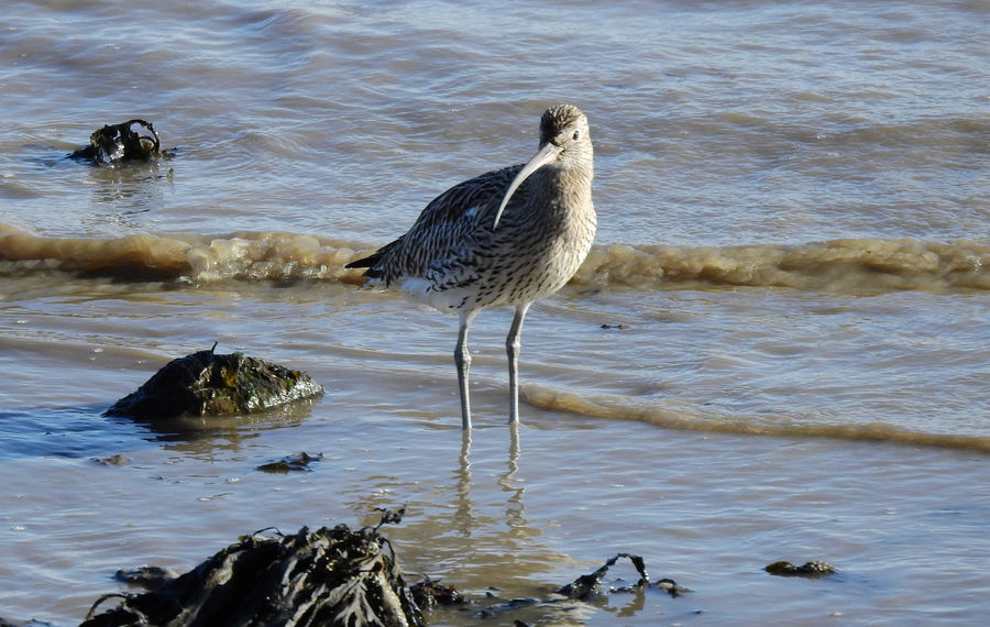 Curlew bird - Shotley Gate, Suffolk Animal Themes Animal Wildlife Animals In The Wild Beachphotography Beauty In Nature Bird Curlew Day Nature No People One Animal Outdoors Perching Sea Seabird Seaweed At The Beach Water Waterfront