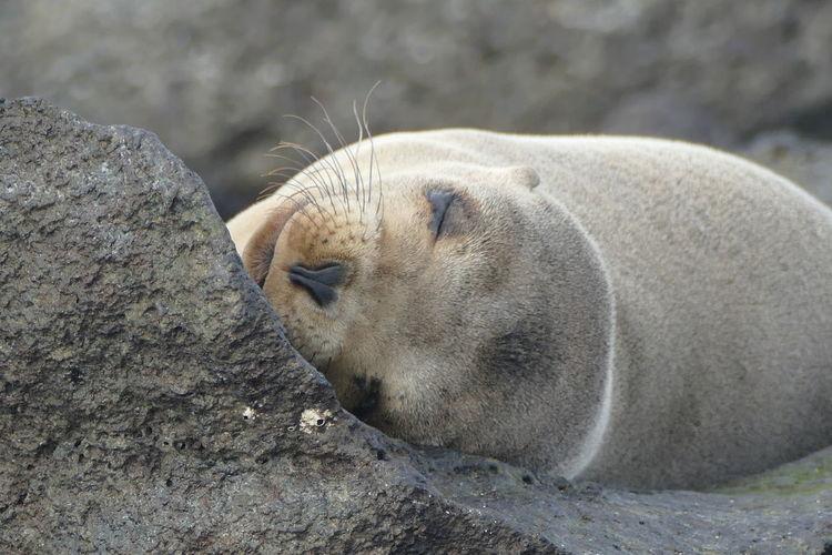 Close-up of sleeping seal