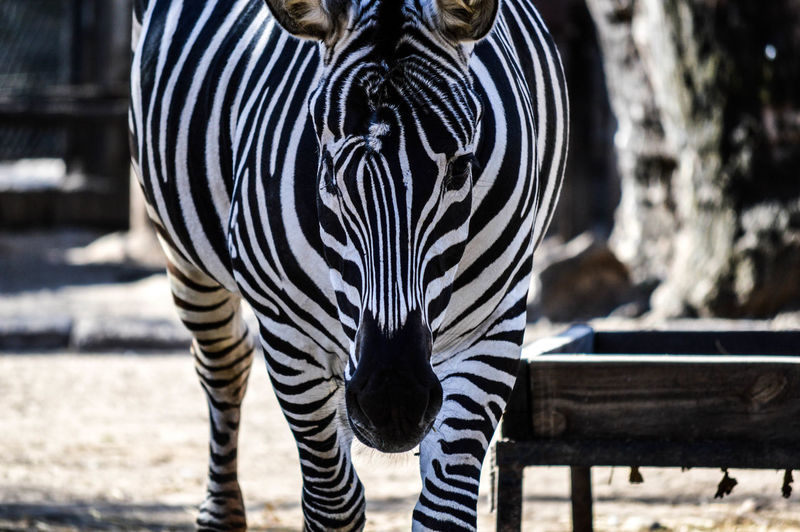 Close-Up Of Zebra At Zoo