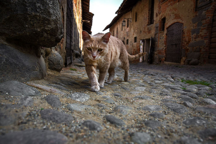 Ricetto di Candelo, italy Animal Animal Themes Animals Architecture Building Exterior Built Structure Cat Cats Colours Day Domestic Animals Domestic Cat Feline Mammal Medieval No People One Animal Outdoors Pets Village Walking