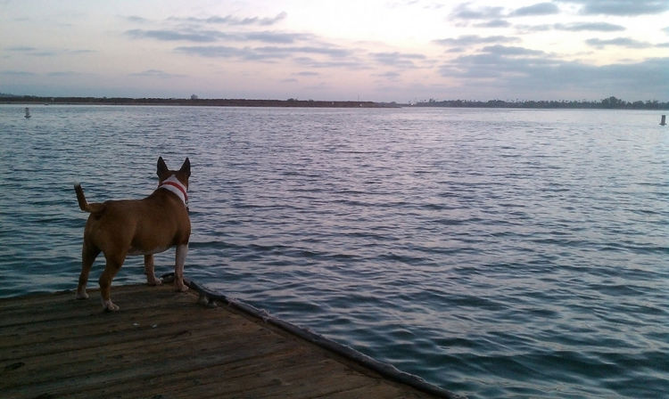 Dog overlooking water on pier in San Diego, California Veterinarian Animal Themes Beauty In Nature Cloud - Sky Day Dog Dog Life Domestic Animals Lake Mammal Nature No People One Animal Outdoors Pet Pet Care Pet Health Pet Rescue Pet Shelter Pets Sky Sunset Water