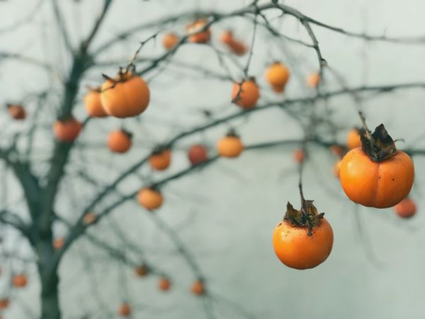 Winter Fruits Fruit Food And Drink Orange Color Focus On Foreground Tree Healthy Eating Freshness No People Nature