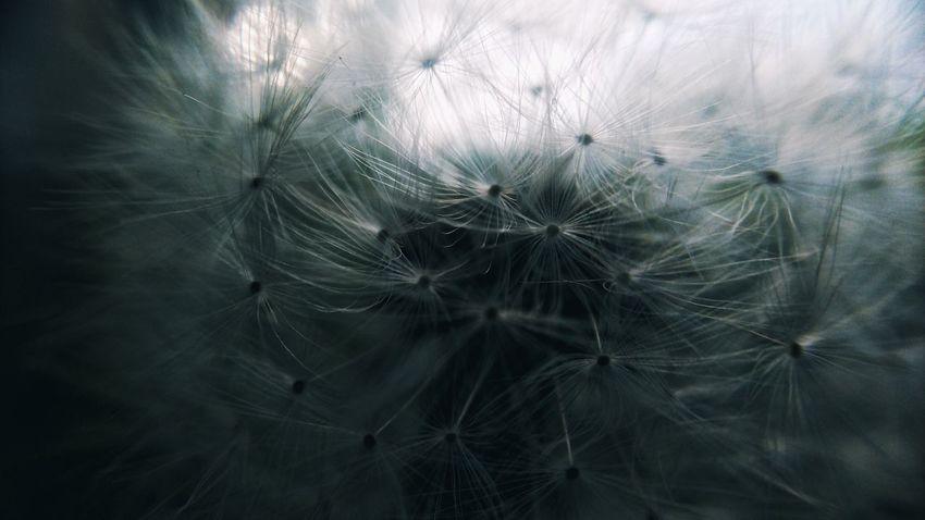 Mobilephotography Backgrounds Full Frame Close-up Dandelion Seed Dandelion