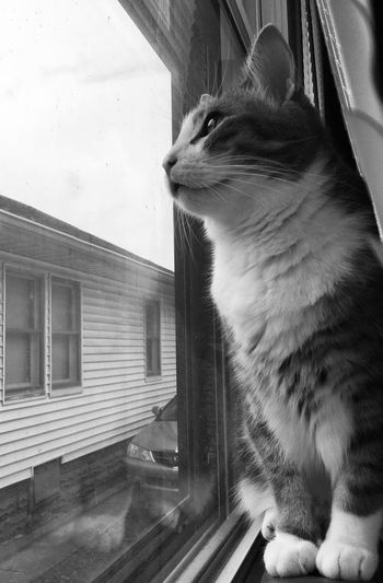 One Animal Animal Themes Pets Animal Domestic Domestic Animals Mammal Domestic Cat Window Cat Feline Looking Indoors  Glass - Material Close-up Looking Through Window Whisker