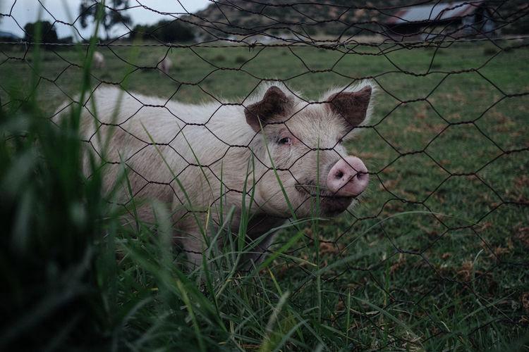 Portrait of pig behind fence on land