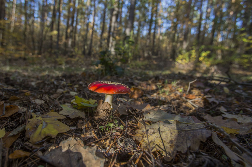 Fly agaric in autumn forest Autumn colors Beauty In Nature Close-up Day Field Fly Agaric Fly Agaric Mushroom Food Forest Fungus Growth Land Mushroom Nature No People Outdoors Plant Poisonous Red Surface Level Toadstool Tranquility Tree Vegetable WoodLand