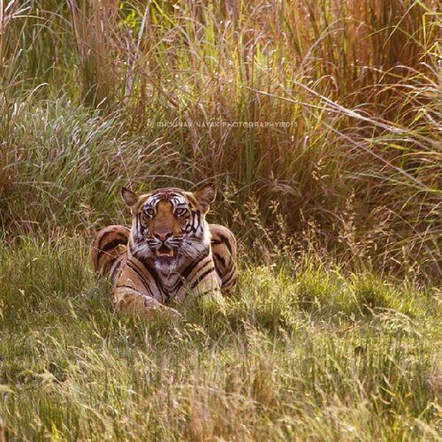Majestic. ShounakNayakPhotography Wildlife Tiger Bandhavgarh