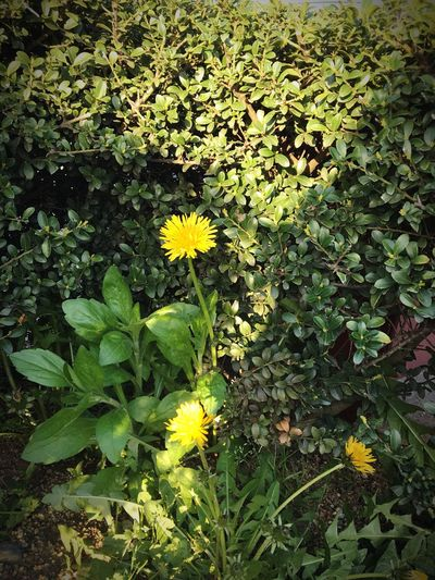 Flower Growth Plant Yellow Nature Blooming Leaf Fragility Petal Freshness Outdoors Beauty In Nature No People Flower Head Day Close-up Dandelion Good Morning! Make You Coffee