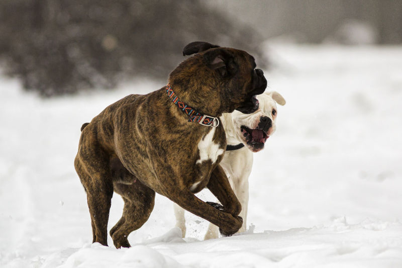 Animal Animal Themes Boxer Boxer Dog Boxer Dogs Cold Dog Dogs In The Snow Dogs Jumping  Domestic Animals Funny Ice Iced It's Cold Outside Jumping Mammal Pets Phillip & Sopi Playing Playing Dogs Snow Two Animals Winter
