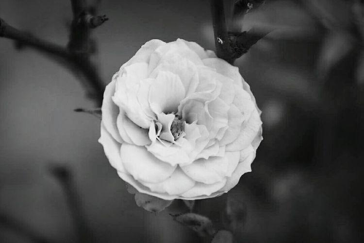 Roses🌹 Flower