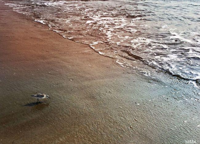 Beauty In Nature Thesea Beach Assateague Island Bird Sand Piper featured in Popular Photos