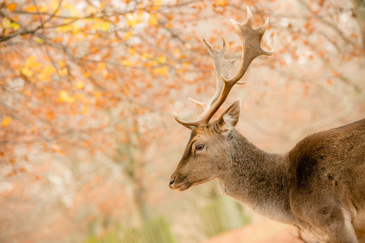 Side view of deer in dunham park during autumn