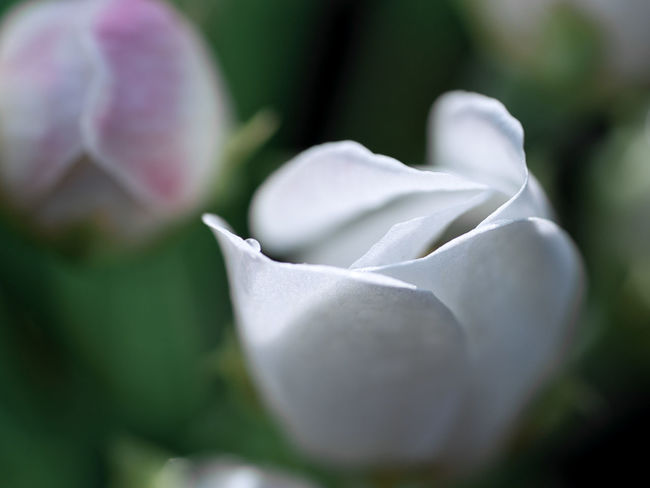 Single flower blossom Green Color Single Flower Valentine's Day  Beauty In Nature Blossom Close-up Day Flora Flower Fragility Freshness Growth Nature Naturelovers No People Outdoors Plant Single Rose Summer Summervibes Tulip White Rose Whiterose Yellow Tulips