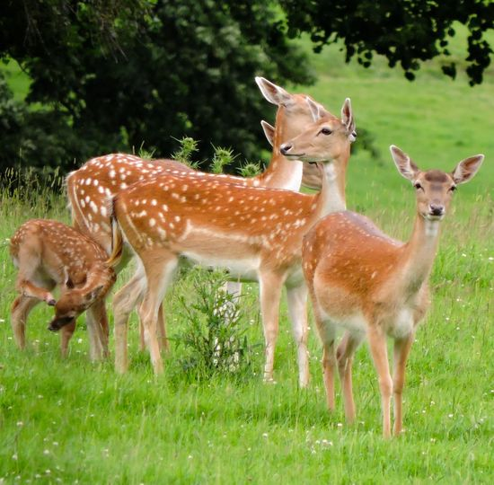 Alertness Animal Animal Themes Beauty In Nature Day Deer Fallowdeer Field Focus On Foreground Forest Grass Grassy Green Color Growth Herbivorous Landscape Mammal Nature No People Selective Focus Wildlife Young Animal Younganimal