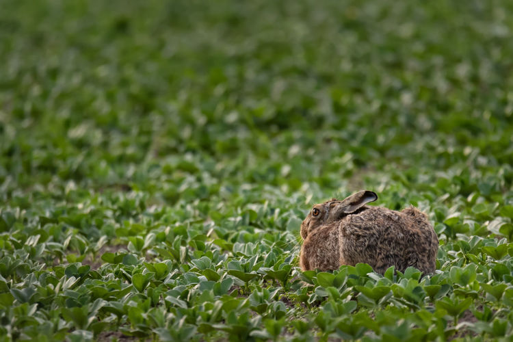 Hare on relaxing on grassy field