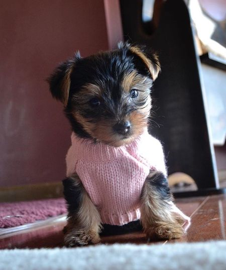 Yorkies Pets Puppy Yorkshire Terrier YorkieBestShots Dog Cute Pets Adorable Yorkshireterrier Yorkiesofinstagram Cute Dog  Cutepuppies Puppies Yorkielove Love ♥ The Portraitist - 2017 EyeEm Awards Pets Corner Pet Selfie Puppy Love Dogs Dogs Of EyeEm Dogslife Puppy Love ❤