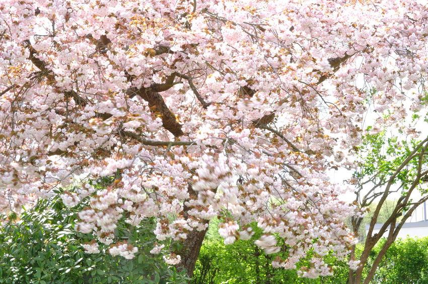 Sakura Blooming Full Bloom Garden Gardening Equipment Ornamental Cherry Tree Prunus Serrulata Shirofugen