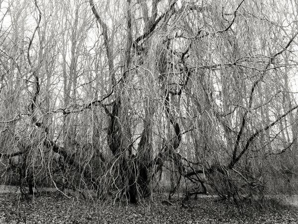 Alter Baum--was Für Ein Wuchs--- Bare Tree Beauty In Nature Old Tree--what A Growth Rostock 2017