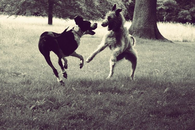 Dancing giants..... Taking Photos Check This Out Enjoying Life Dog Of My Heart Dogwalk Love My Dog  Dogslife Dog Of The Year 2016 Dog Walking Irish Wolfhound Cearnaigh Blackandwhite Monochrome Great Dane Dogge Playful Dog Nordpark The Places I've Been Today Spring 2016 June 2016 Dog Of The Day See What I See