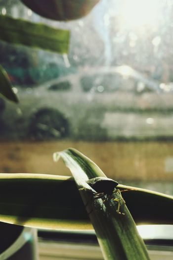 muscle bug Blurry Background Car Bug Nklb IPhone SE Close-up One Animal Invertebrate Insect No People Animal Themes Glass - Material Green Color Indoors  Sunlight