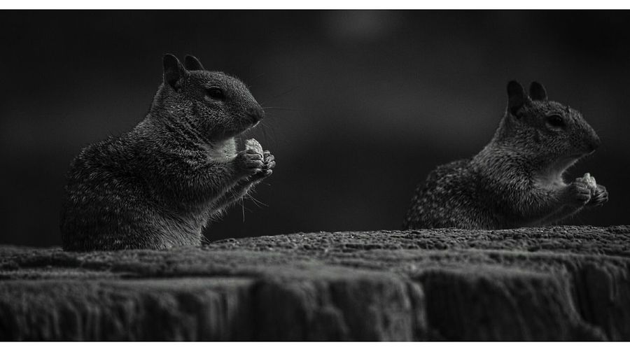 Black And White Nature Squirrel Dark Animals In The Wild Animal Focus Object