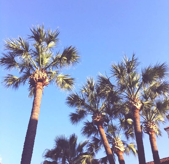 Palm Tree Tree Low Angle View Tropical Climate Plant Sky Growth Clear Sky Beauty In Nature Day Blue Tropical Tree Tranquility No People Outdoors Tall - High Sunlight Nature