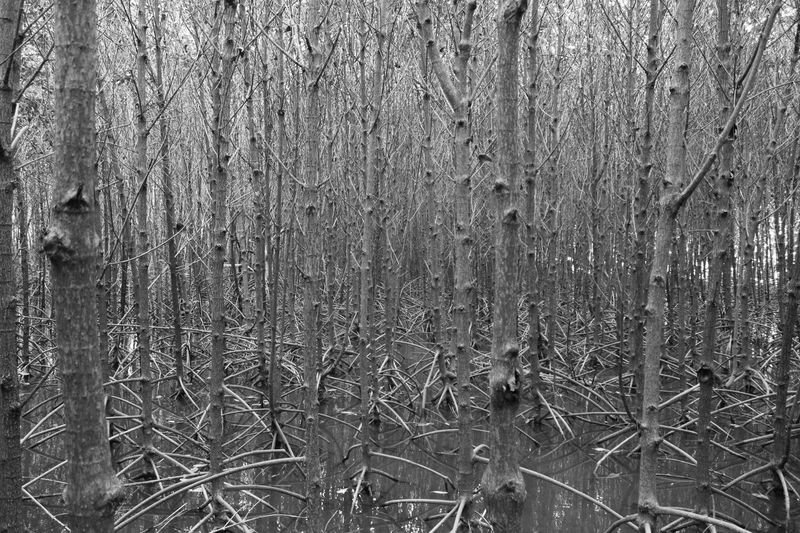 Tree Mangrove Mangrove Trees Mangrove Area Mangrove Plant Mangrove Park Nature Photography Nature View Black And White Nature Pattern Tree Patterns Black And White ใน Thailand