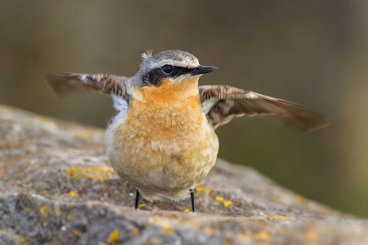 Northern Wheatear Collalba Gris Northern Wheatear Oenanthe Oenanthe Steinschmätzer Traquet Motteux Animal Themes Animal Wildlife Animals In The Wild Beak Bird Close-up Day Focus On Foreground Nature No People One Animal Outdoors Perching Wheatear