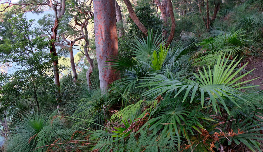 New South Wales  Sydney Ku-ring-gai National Park Angophora Palms Plant Growth Beauty In Nature Forest Tranquility Green Color Land WoodLand Lush Foliage Rainforest Scenics - Nature Tranquil Scene Outdoors Day No People Slope