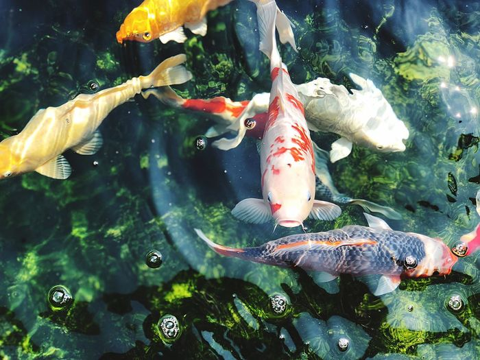 Fish Water Carp Sea Life Swimming No People Nature Animal Themes Outdoors Day UnderSea Close-up
