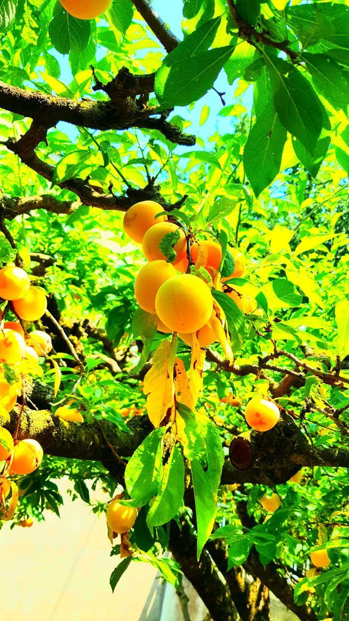 plant, growth, leaf, plant part, beauty in nature, nature, yellow, freshness, tree, food, fruit, close-up, no people, day, green color, healthy eating, food and drink, flower, outdoors, flowering plant