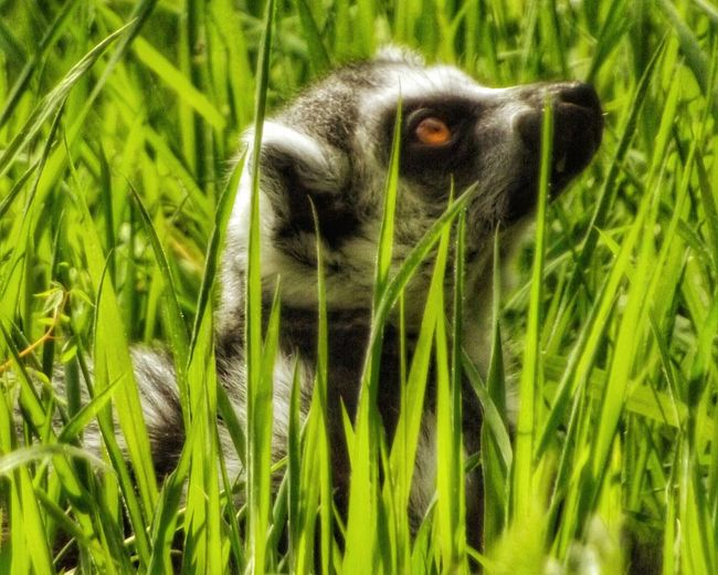 Just managed to spot this ring-tailed Lemur hiding in the grass on a lovely summers day EyeEm Best Shots - Nature My Favorite Photo Malephotographerofthemonth Eye For Photography Majestic Creatures EyeEm Masterclass Beauty In Nature EyeEm Nature Lover EyeEm Best Shots Close Up Photography Creative Light And Shadow Color Photography Fujifilm Hdr_Collection Photography Wildlife Photos Animals In The Wild Wild Beauty Lemur Face Lemur Close Up Ring Tailed Lemur Endangered Species Endangered Animals Fine Art Photography 43 Golden Moments The Great Outdoors – 2016 EyeEm Awards