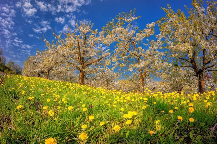 Plant Growth Beauty In Nature Sky Tree Nature No People Flower Green Color Low Angle View Yellow Sunlight Blue Day