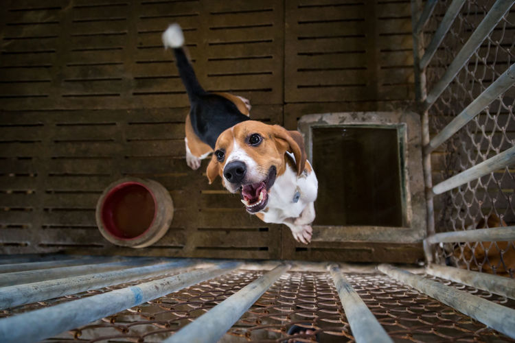 Beagle Canine Dog Domestic Domestic Animals Looking Looking At Camera Mammal One Animal Pets Portrait Purebred Dog