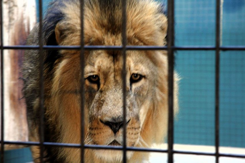 Lion Lions Head Animal Themes Animal Wildlife Animals In Captivity Behind Bars Cage Close-up Day Life Sentence Mammal No Hope No People One Animal Sadness