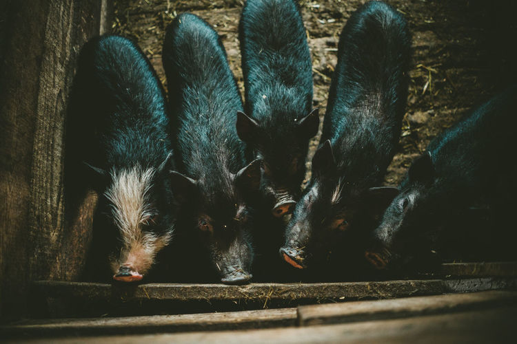 Black Piglet Dark Color Piglet Domestic Animals Farm Farm Animals, Pig, Farm Life,sleeping Big, Resting Pig, Pig Pen, Black And White No People Pig Piggy Piglet Piglets Piglets Eating