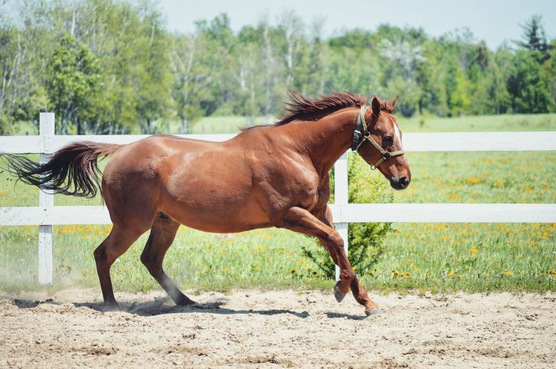 Horse Animal Themes One Animal Tree Grass Field Nature Full Length Day Outdoors No People Sky Nikon Nikon D3200 Nikonphotography Equine Equine Photography Chestnut Horse Happy Flexibility Animals In The Wild Horseback Riding Summer Liberty Sport