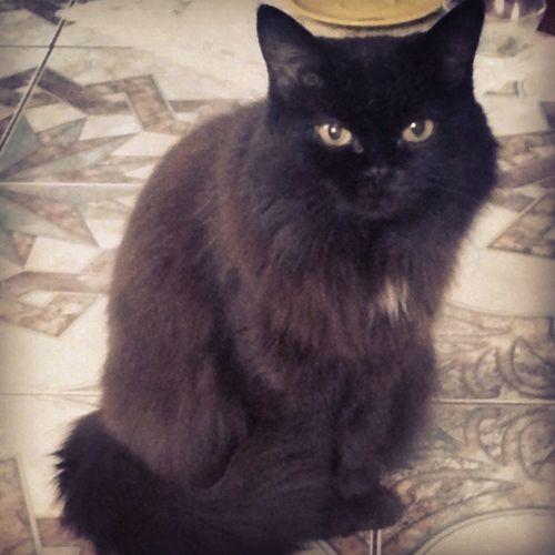 мяу моя маркиза) кошка Котейка Cat kitty black
