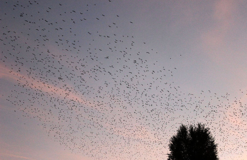 Animal Wildlife Animals In The Wild Beauty In Nature Bird Day Flock Of Birds Flying Large Group Of Animals Migrating Murmuration Nature No People Silhouette Sky Sunset