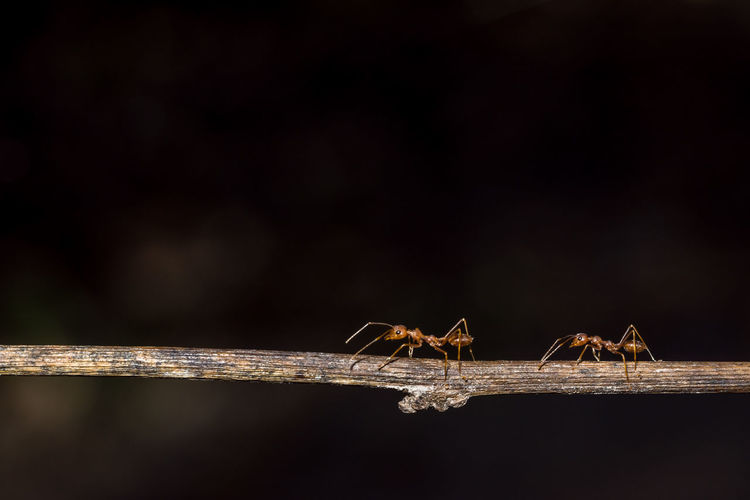 Close-Up Of Ants On Stick